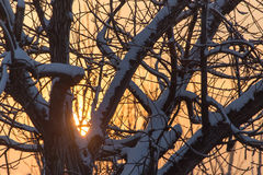 Bare branches of a tree in the sun dawn Royalty Free Stock Image