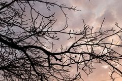 Bare branches of a tree at sunset Royalty Free Stock Image