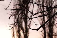 Bare branches of a tree at sunset Royalty Free Stock Photo