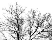 Bare branches of a tree on a white background stock images