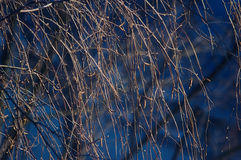 The bare branches of trees. Bare tree branches , winter without snow Stock Photography