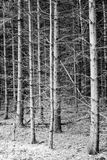 Bare branches and trunks of pine trees Stock Photography