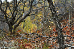 Bare branches of wild apple trees. Royalty Free Stock Photos