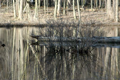 Bare bush in Pond. Area in the Rocky River Reservation Wetlands Stock Image