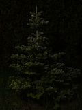 Bare Christmas tree without decoration Stock Images