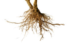 Bare dead root tree isolated Royalty Free Stock Image
