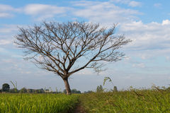 Bare deciduous trees on a rice field. Stock Photography