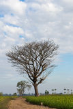 Bare deciduous trees on a rice field. Royalty Free Stock Images