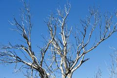 Bare eucalypt gum tree  at Leschenault Estuary , Bunbury, Western Australia. Stock Image