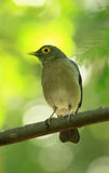 Bare eye trush Turdus tephronotus perched Stock Photos