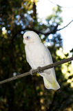 Bare eyed Cockatoo or Little Corellas. A beautiful Bare eyed Cockatoo also called Little Corella in a wildlife sanctuary Royalty Free Stock Images