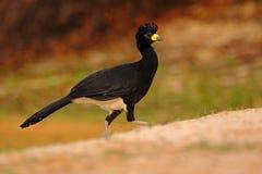 Bare-faced Curassow, Crax fasciolata, big black bird with yellew bill in the nature habitat, Barranco Alto, Pantanal, Brazil Stock Photos