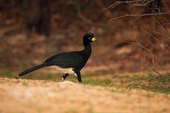 Bare-faced Curassow, Crax fasciolata, big black bird with yellew bill in the nature habitat, Barranco Alto, Pantanal, Brazil Stock Image