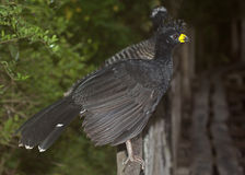 Bare-faced Curassow Royalty Free Stock Photo