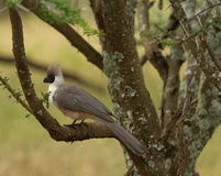 Bare-Faced Go-away Bird Royalty Free Stock Images