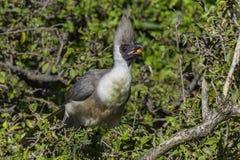 Bare-faced Go-away Bird Eating. A Bare-faced Go-away Bird, eating fruit from a bush in Kenya's Olare Orok Conservancy Royalty Free Stock Image