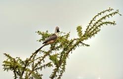 Bare-faced Go-away-bird Stock Image