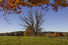 Bare faced tree in autumnal landscape Stock Photos