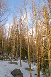 Bare Forest. Bare trees bathed in late day sun on the high slopes of the Rocky Mountains stock image