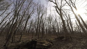 Bare forest stock footage