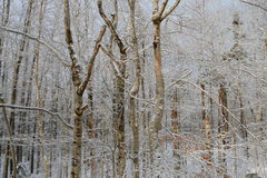 Bare forest trees covered in snow and ice Royalty Free Stock Photo