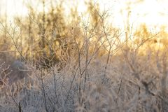 Bare Frosty Branches in Golden Light royalty free stock images