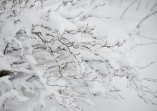 Bare Frozen Branches Covered with Fresh Snow Stock Photos