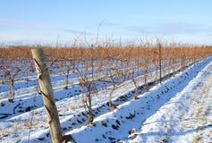 Bare Grape Vines Stock Photo