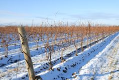 Bare Grape Vines. Rows of grape vines in the snow Stock Photo