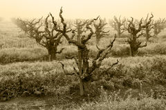 Bare Grapevines in Winter Fog Royalty Free Stock Images