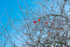Bare and hoarfrosted apple trees with frozen red apples on it Stock Images