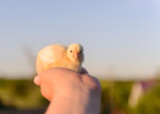Bare Human Hand Holding Small Yellow Chick Royalty Free Stock Images