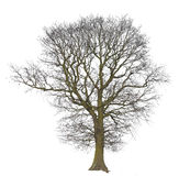bare isolerad treewhite Royaltyfria Foton