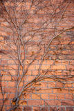 Bare ivy Royalty Free Stock Photography