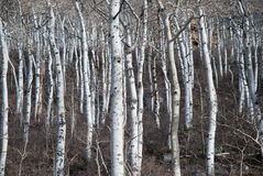 Bare, Leafless Aspen Tree Stand Royalty Free Stock Photography