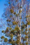 Bare leafless branches of a tree against clear blue sky Stock Images