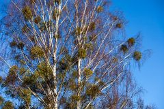 Bare leafless branches of a tree against clear blue sky Royalty Free Stock Images