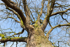 Bare leafless oak tree bottom view with blue sky in winter Stock Images