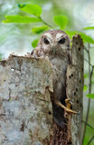 The Bare-legged Owl or Cuban Screech Owl Royalty Free Stock Image
