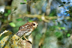 The Bare-legged Owl or Cuban Screech Owl (Gymnoglaux lawrencii). royalty free stock image