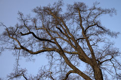 Bare lime tree Royalty Free Stock Photo