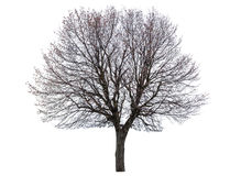 Bare linden tree. Isolated on white Royalty Free Stock Photo