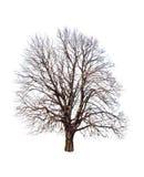 Bare linden tree. On white Royalty Free Stock Photo