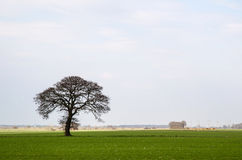 Bare and lone tree at green field Stock Images