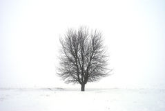 A bare lonely tree. In morning fog Stock Photos