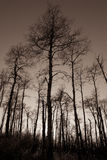 Bare Majestic Birch Trees Royalty Free Stock Images