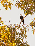 Bare-necked Fruitcrow Stock Photo