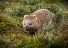 Bare nosed wombat. A bare nosed wombat walking through the grass Vombatus ursinus Stock Photos