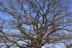 Bare oak Royalty Free Stock Image