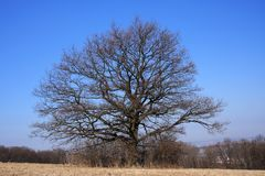 Bare oak tree Royalty Free Stock Images